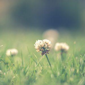 Garden Lawn Weeds